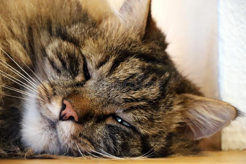 Norwegian forrest cat stock image