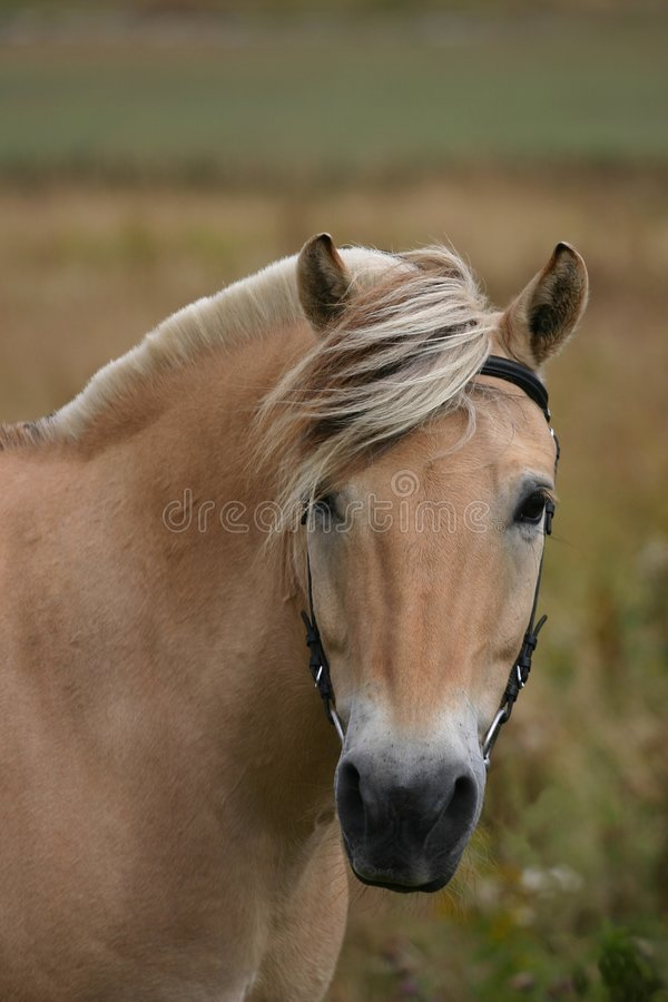 Norwegian horse stock photos