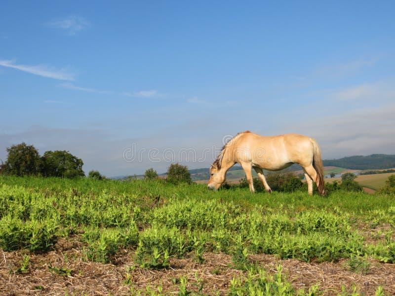 Norwegian horse free royalty free stock photo