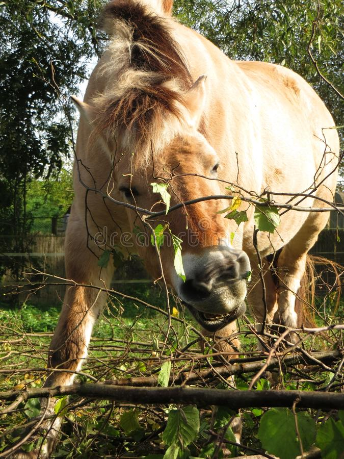 Norwegian horse mare royalty free stock photography