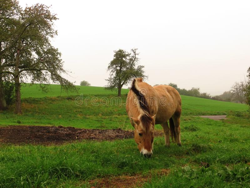 Norwegian horse mare. Norwegian mare free and relish on a meadow while grazing stock images