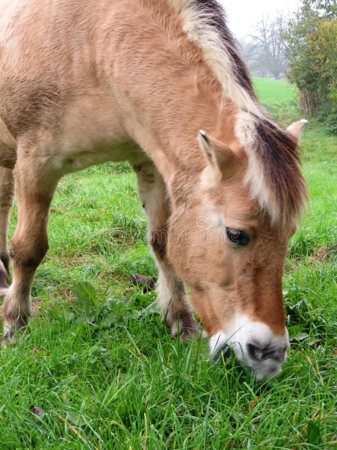 Norwegian horse mare. Norwegian mare free and relish on a meadow while grazing stock photo