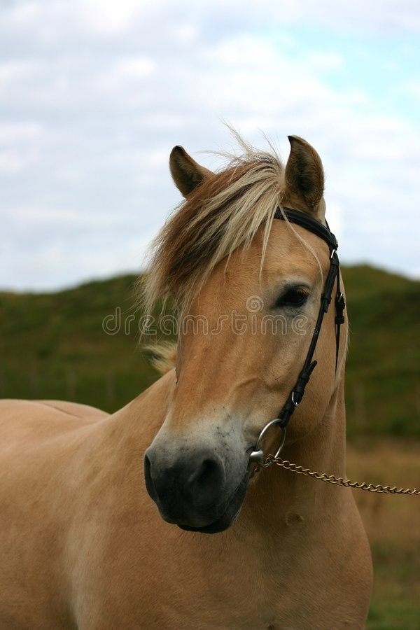 Norwegian horse portait stock image