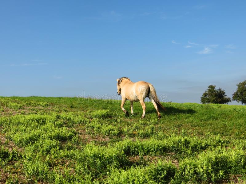 Norwegian horse free stock photos