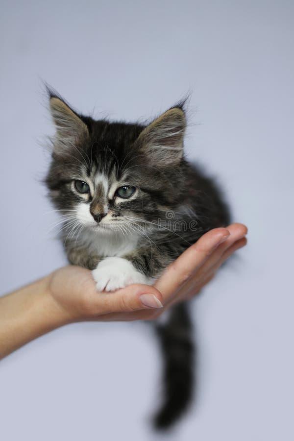 Norwegische Kätzchenfarbgraue getigerte Katze und weiße lange Haarposition des Gesichtes hielten in einer Hand auf hellem Studioh stockfotografie