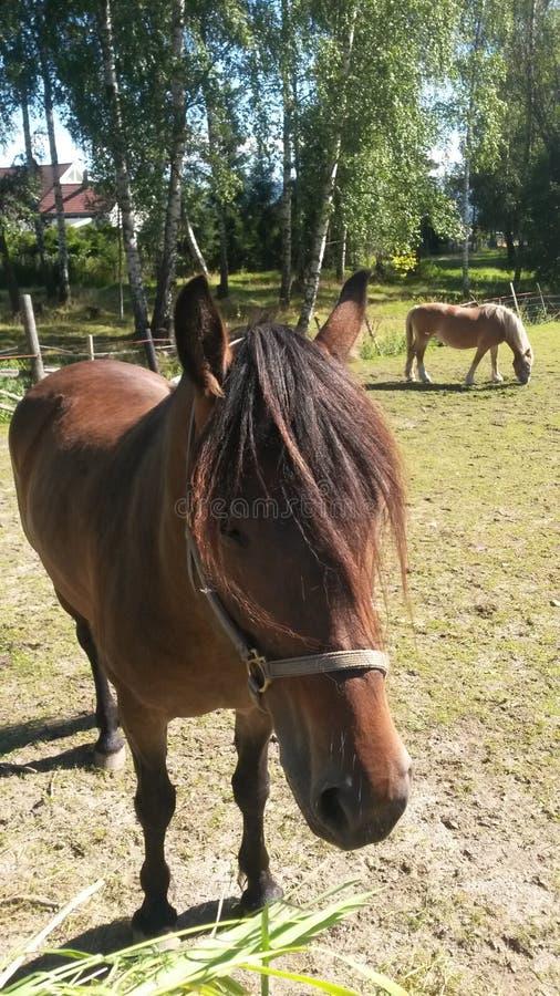 Norwegische Pferde stockfotografie