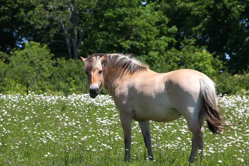 Norwegisches Fjordpferd stockfotos