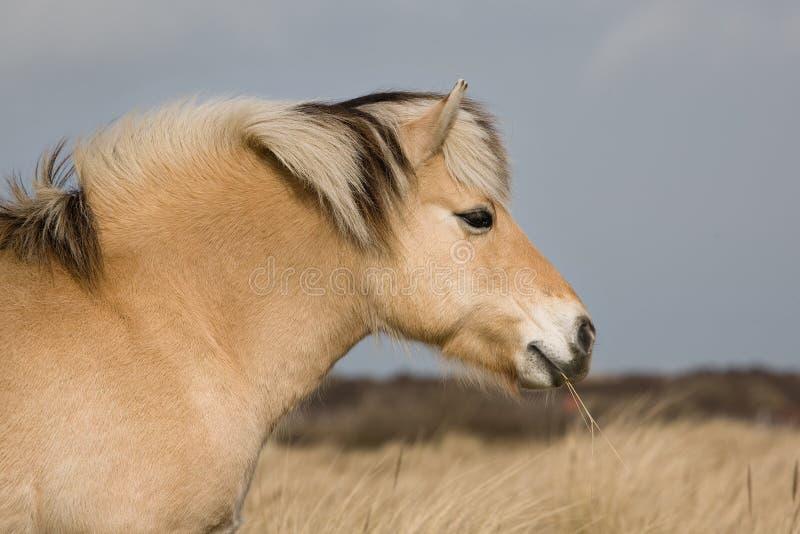 Norwegisches Fjordpferd lizenzfreies stockfoto