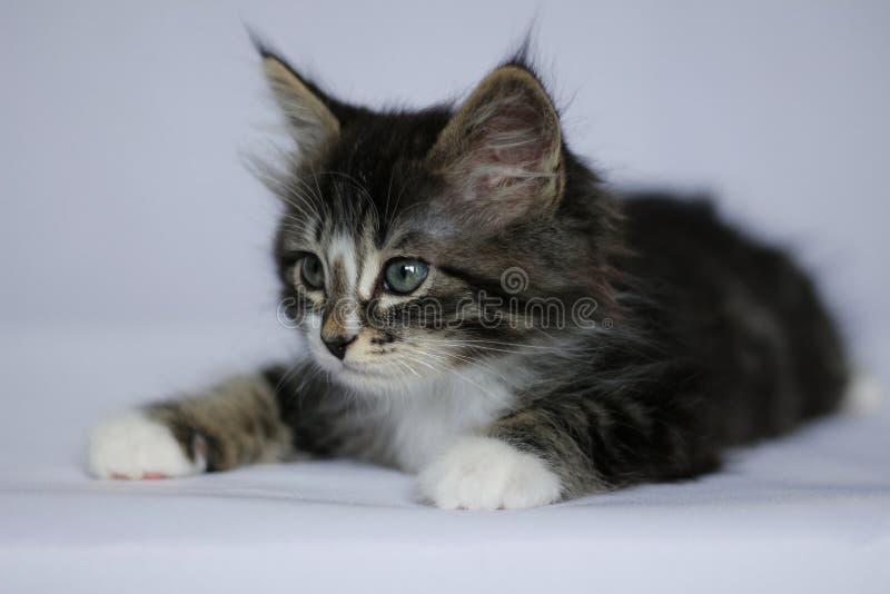 Norwegisches Kätzchen mit dem langen Haar im Grau gestreift und im Weiß in Lügenposition auf weißem Studiohintergrund lizenzfreies stockfoto