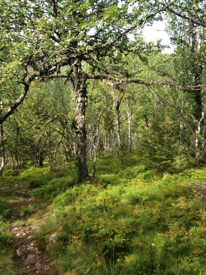 Norwegisches treeline lizenzfreies stockbild