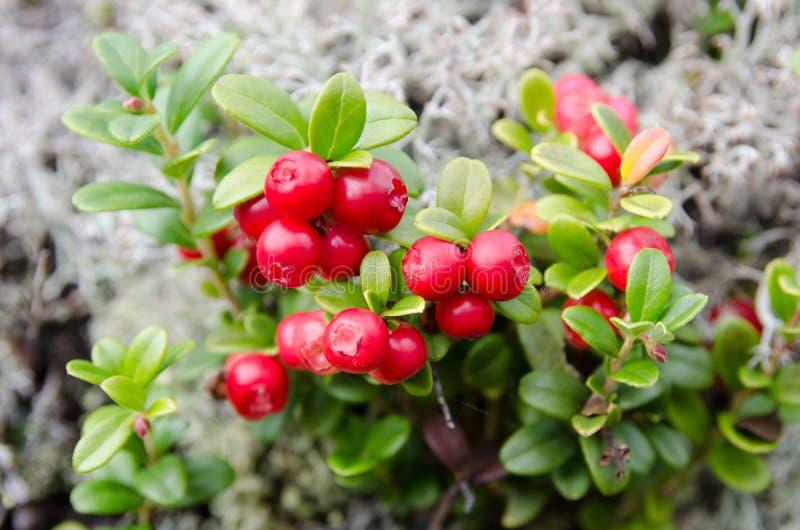 Norwescy cranberries obrazy stock