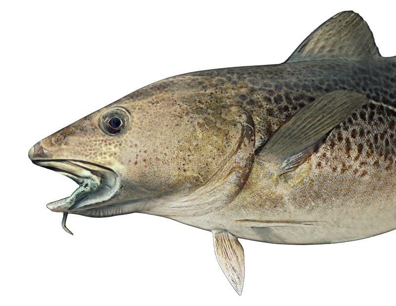 Norweska atlantyckiego dorsza ryby ilustracja ilustracji