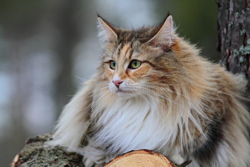 Norweski Lasowy kot zdjęcie royalty free