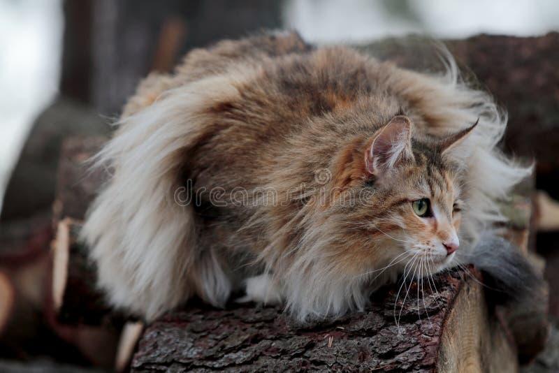 Norweskiego lasowego kota żeński czajenie na nazwa użytkownika lesie zdjęcia stock