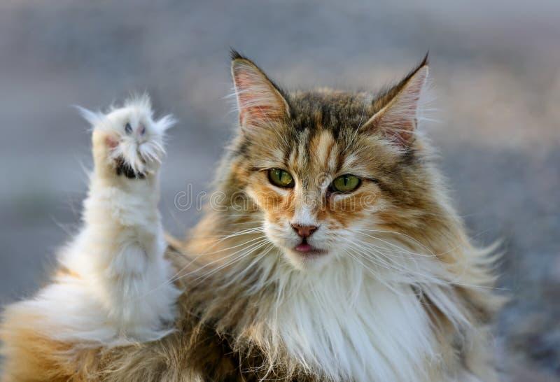 Norweskiego lasowego kota żeńska płuczkowa łapa fotografia stock