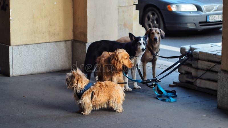 Norwich Terrier, Irish Setter, Siberian Husky and Labrador Retriever stock images