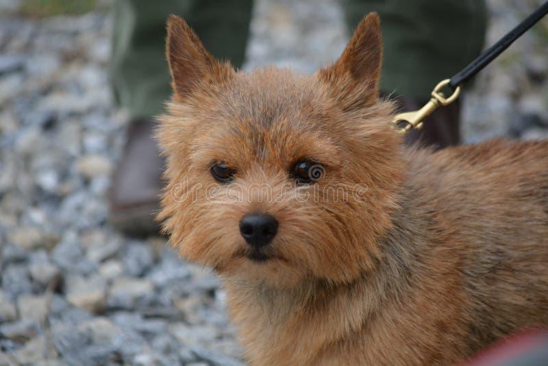 Norwich Terrier pies jeden mały pracujący terier zdjęcie royalty free