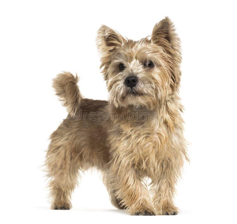 Norwich Terrier voor witte achtergrond stock afbeeldingen