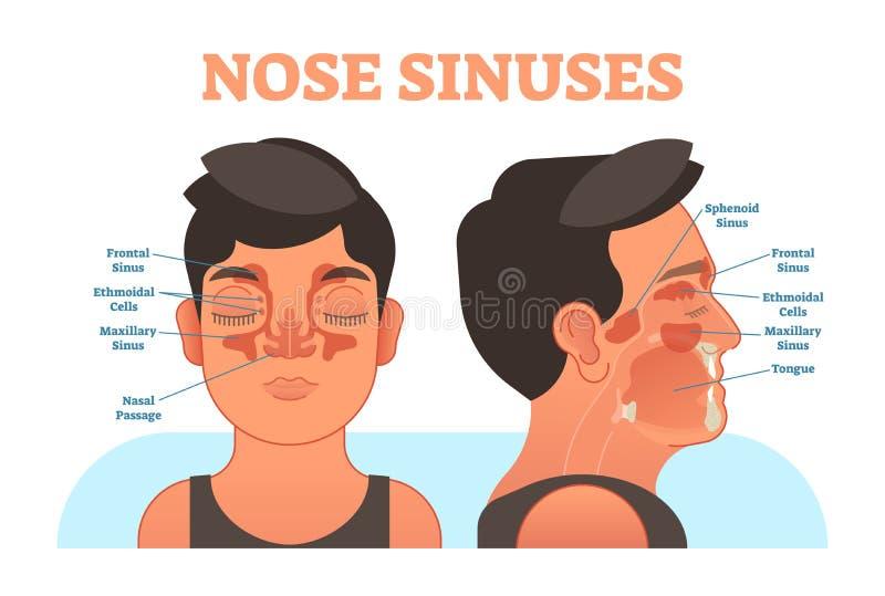Nosów sinuses anatomiczny wektorowy ilustracyjny przekrój poprzeczny ilustracja wektor