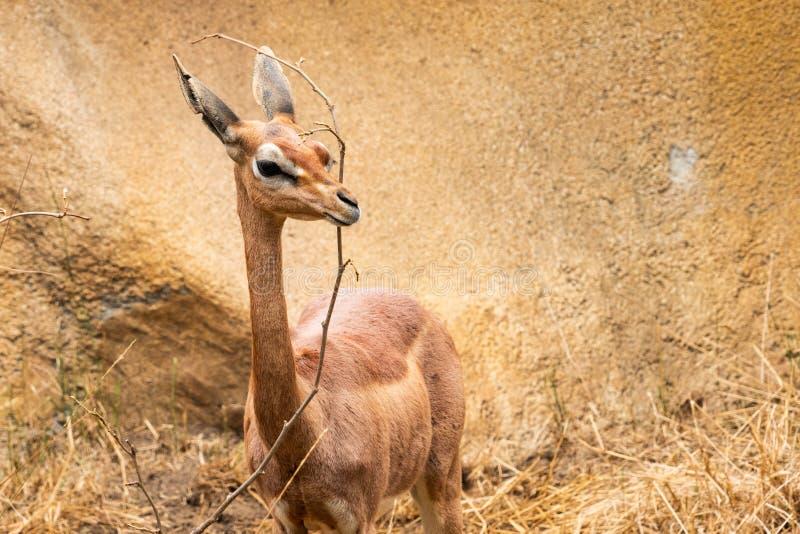 Nos chers cerfs communs photos stock