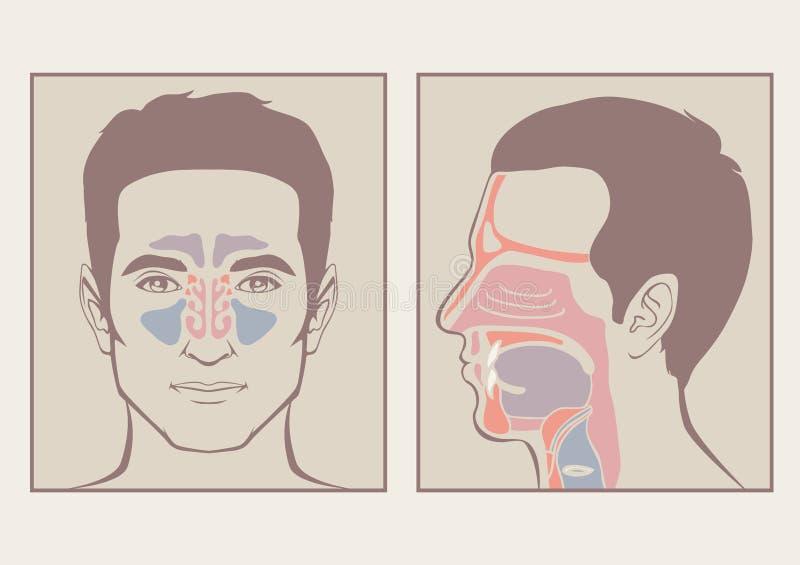 Nos, gardło anatomia royalty ilustracja
