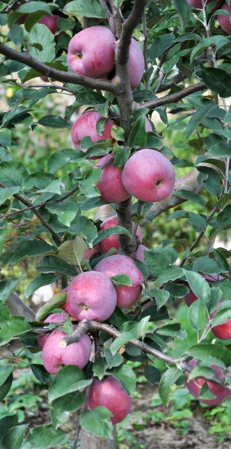 Nos ramos das maçãs maduras da árvore com uma cor róseo-vermelha dos frutos fotos de stock royalty free