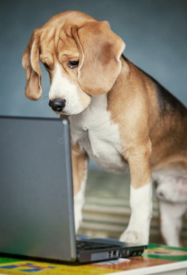 Nosaty beagle surfing internetem na laptopie zdjęcia stock