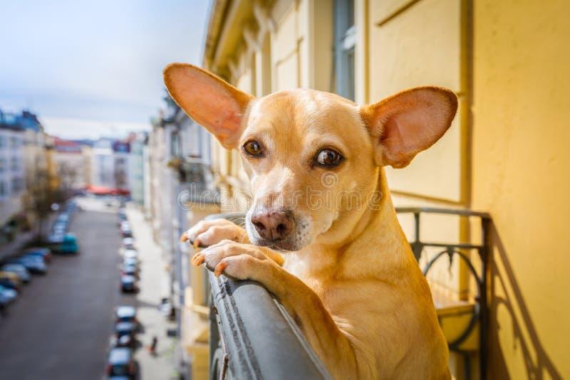 Nosaty dopatrywanie pies zdjęcie stock