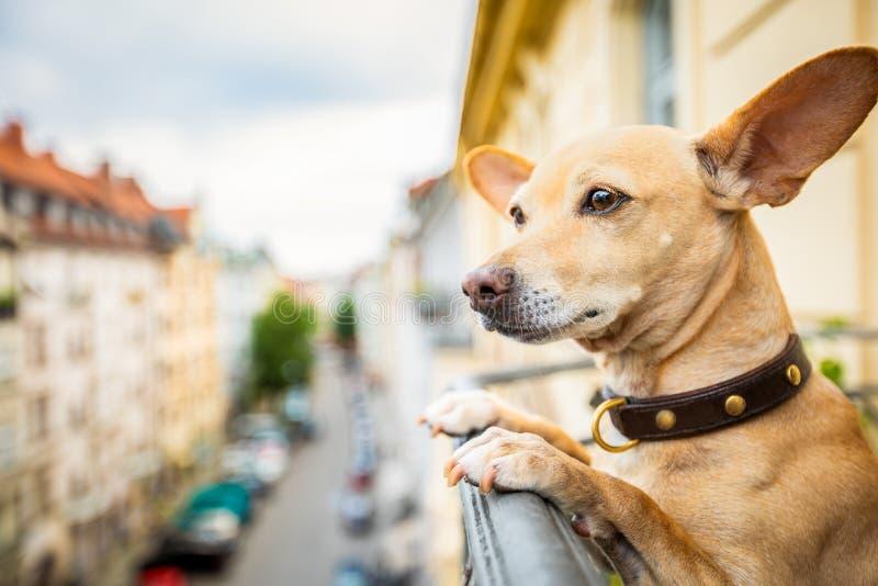 Nosaty dopatrywanie pies od balkonu obrazy stock
