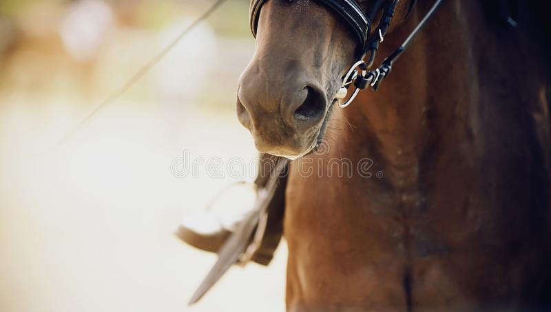 The nose of a Bay horse, dressed for dressage, close-up. On a horse on a Sunny summer day sits a rider whose leg is seen in the stirrup stock photos