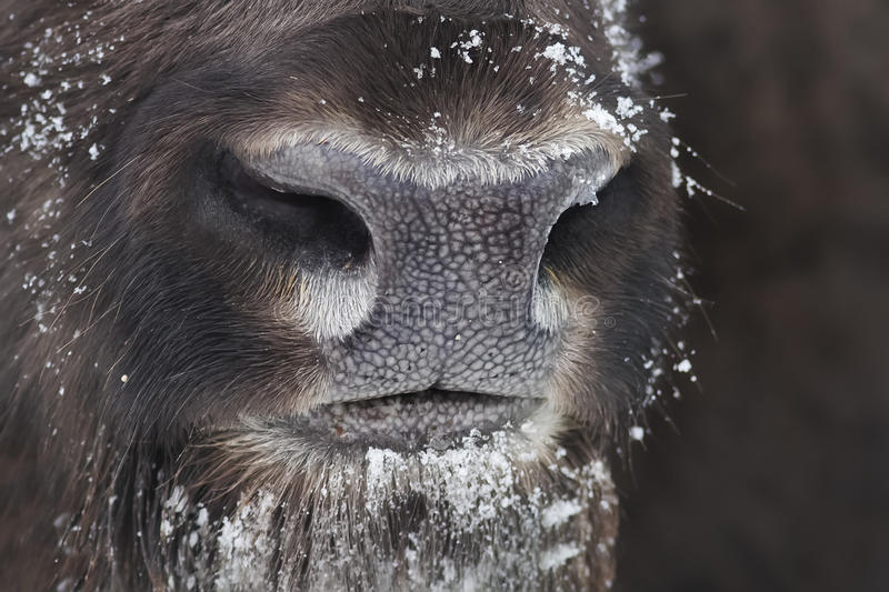 Nose bison close up royalty free stock photo