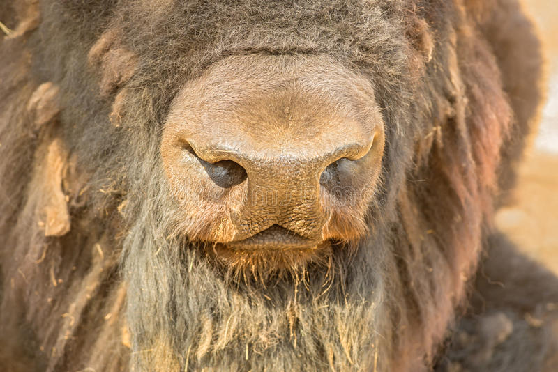 Nose of a bison, close up stock photo