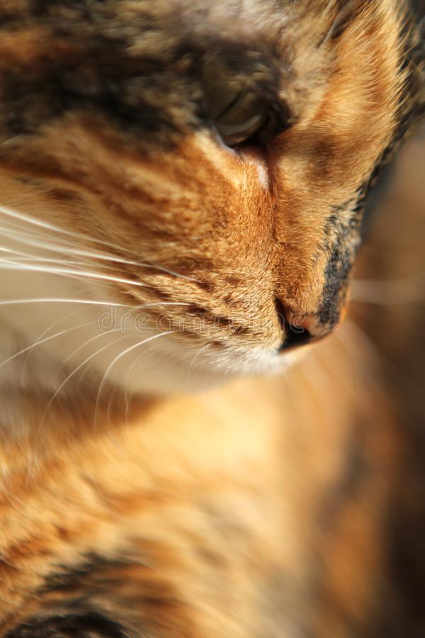 The nose of a dark domestic cat with stains close up, copy space royalty free stock photography