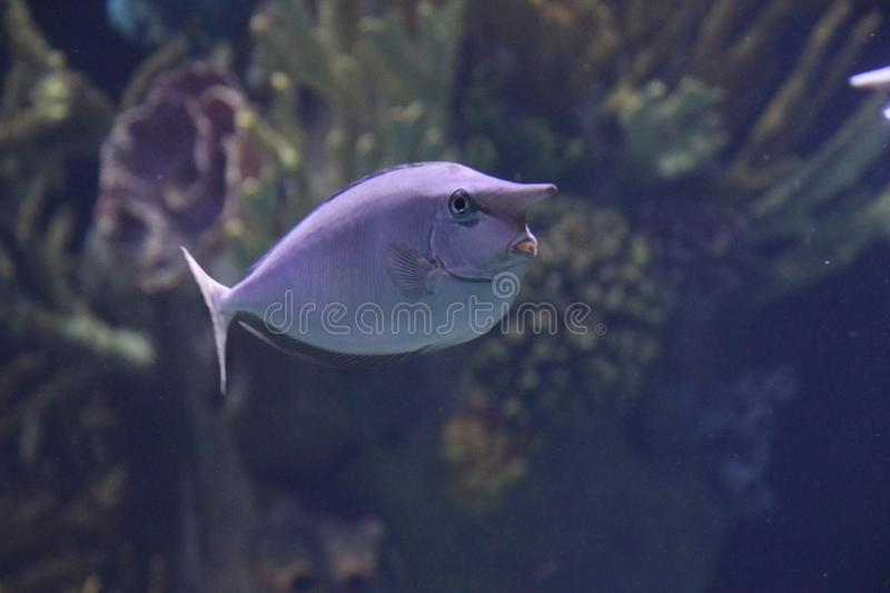 Nose fish in an aquarium at the Rotterdam Blijdorp Zoo in the Netherlands royalty free stock photography