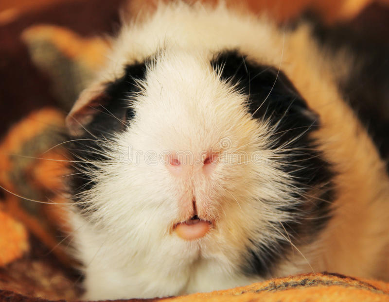 Nose and mouth of guinea pig stock photo