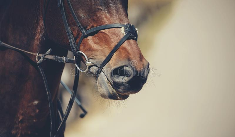 Nose sports brown horse in the bridle. Dressage horse. Equestrian sport royalty free stock photo