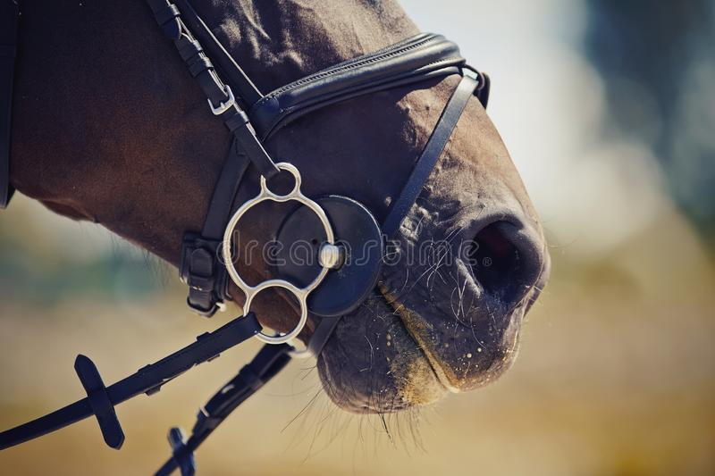 Nose sports brown horse in the bridle. Dressage horse. Equestrian sport royalty free stock image