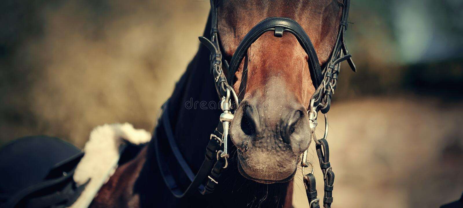 Nose sports brown horse in the bridle. Dressage horse. Equestrian sport royalty free stock photography