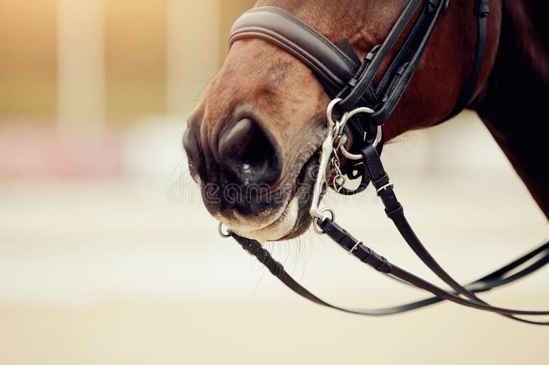 Nose sports brown horse in the double bridle. Dressage horse. Equestrian sport royalty free stock images
