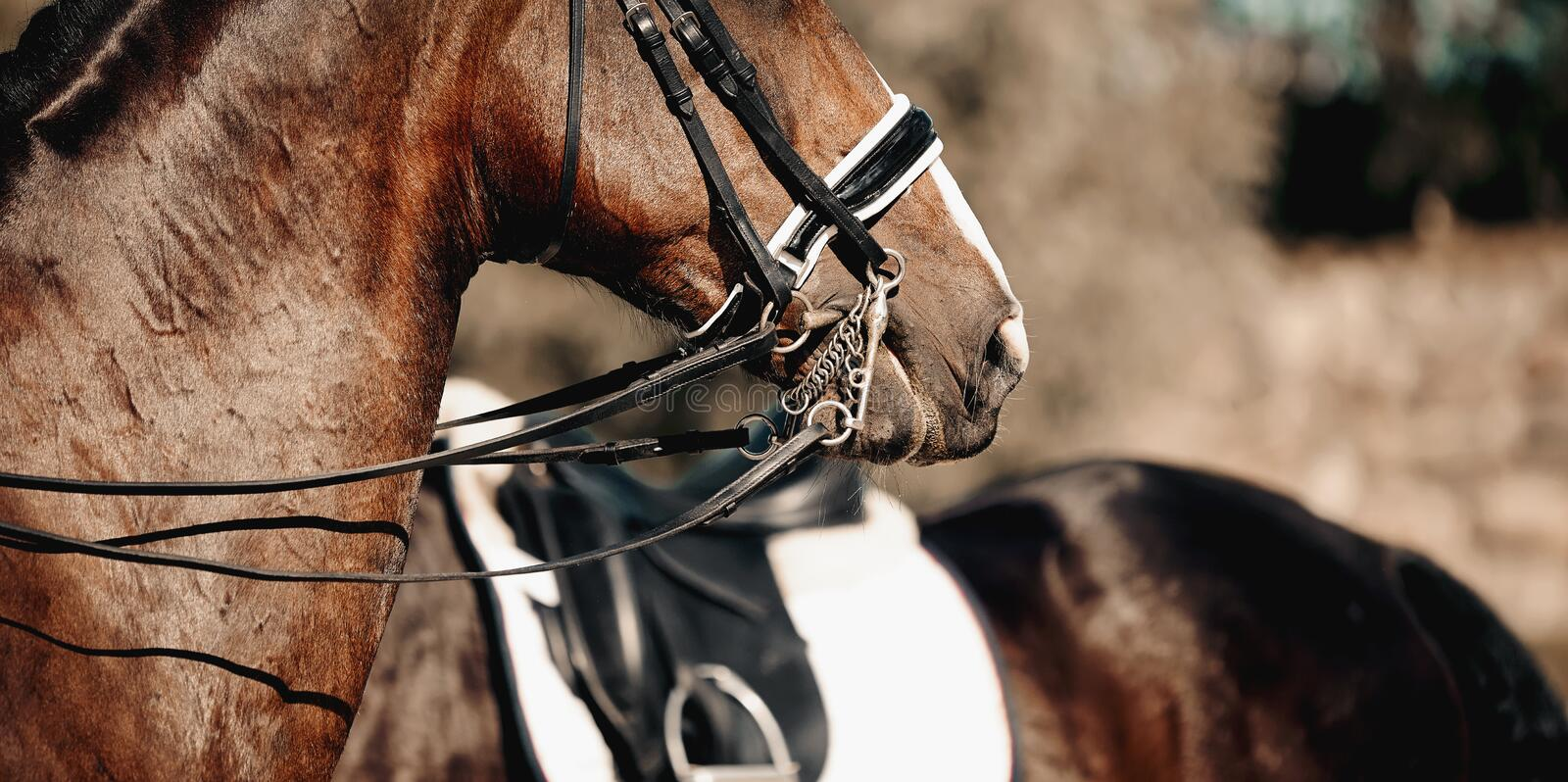 Nose sports brown horse in the double bridle. Dressage horse. Equestrian sport stock images