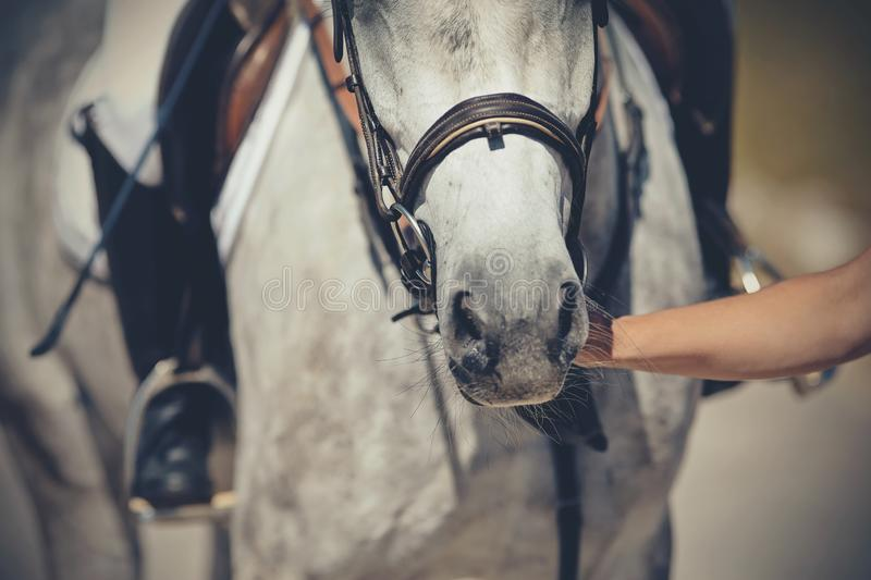Nose sports gray horse in the bridle. Dressage horse. Equestrian sport royalty free stock photography