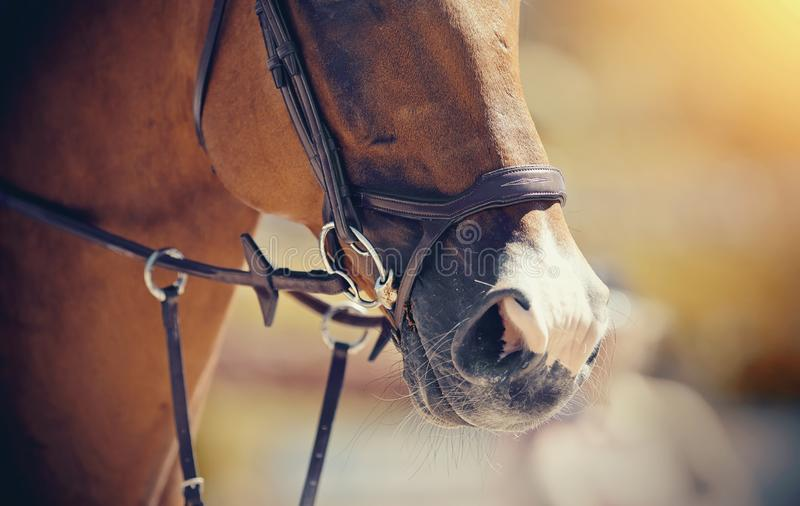 Nose sports red horse in the bridle. Dressage horse. Equestrian sport stock photos