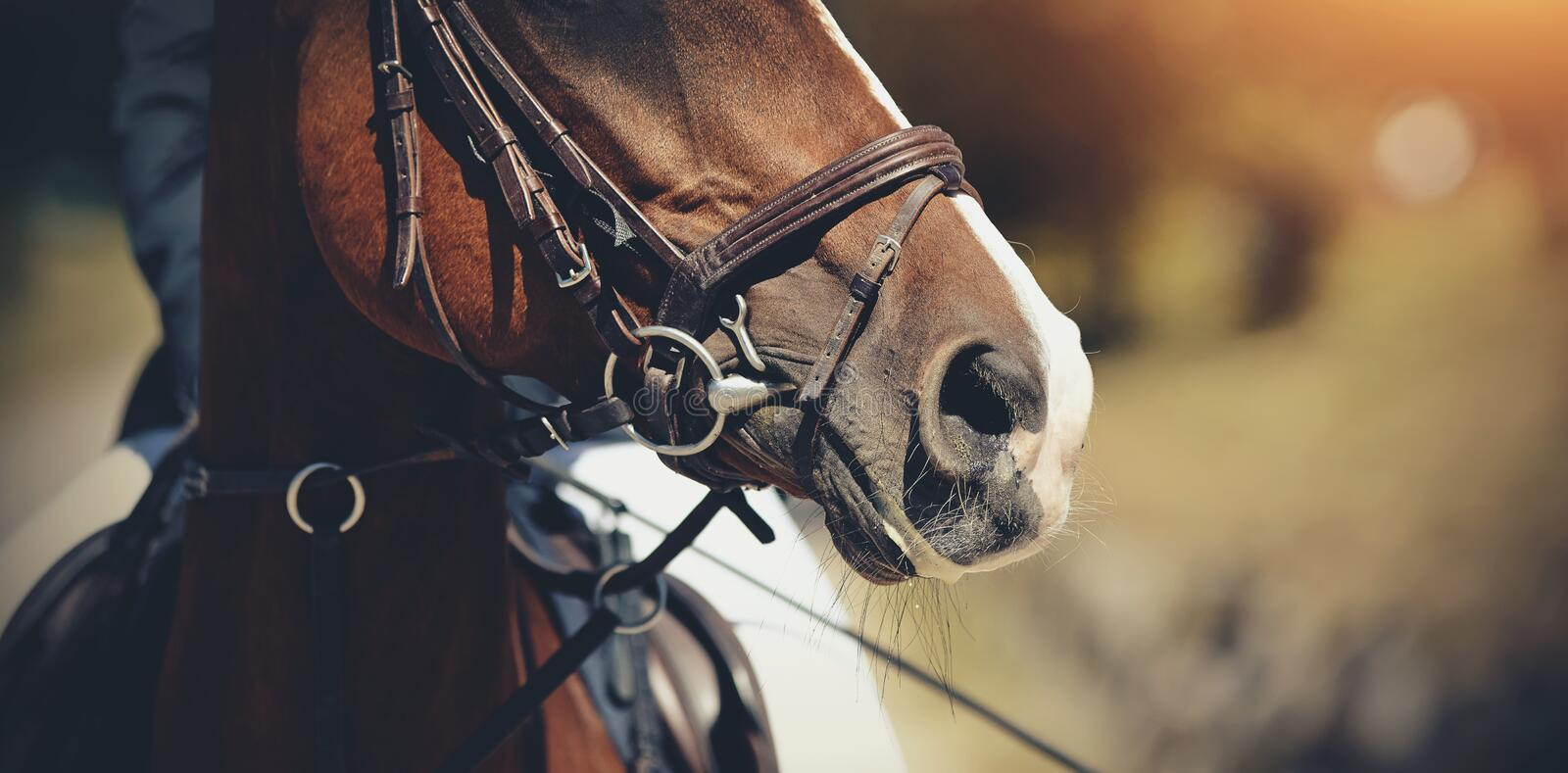Nose sports red horse in the bridle. Dressage horse. Equestrian sport royalty free stock photo