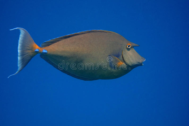 Nose surgeon fish and blue sea stock image image of for Big nose fish