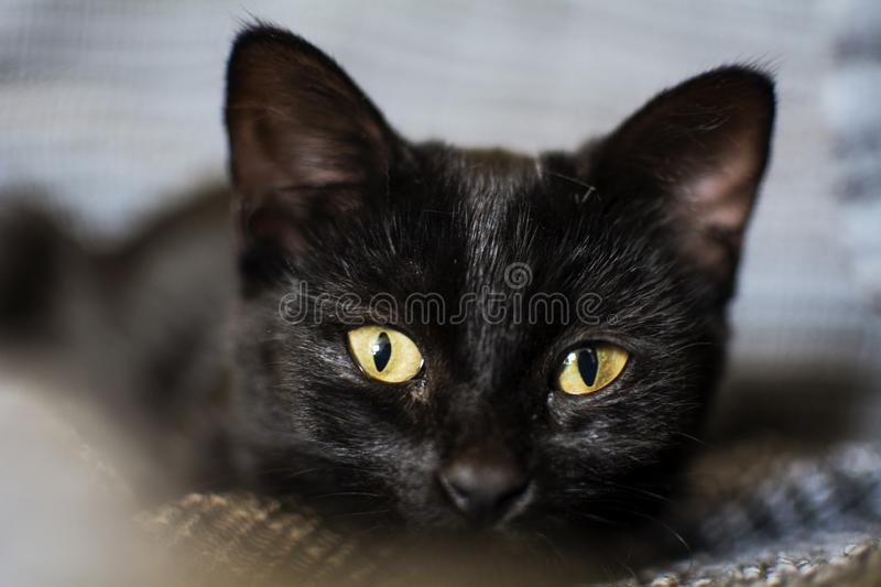 The nose of a three month old black cat puppy royalty free stock photos