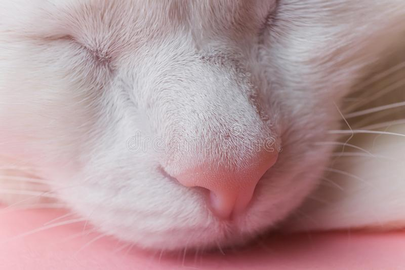 The nose of a white cat close-up. Macro photo. Pet care concept. Copyspace, minimalism. Banner for zoo themes royalty free stock photography