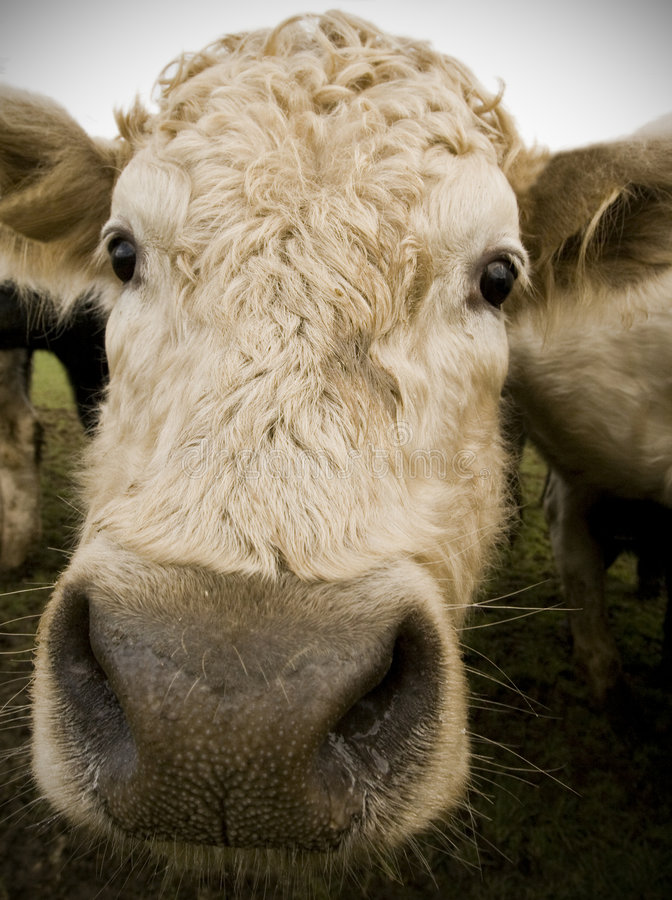 Free Nosey Cow Royalty Free Stock Images - 7678999
