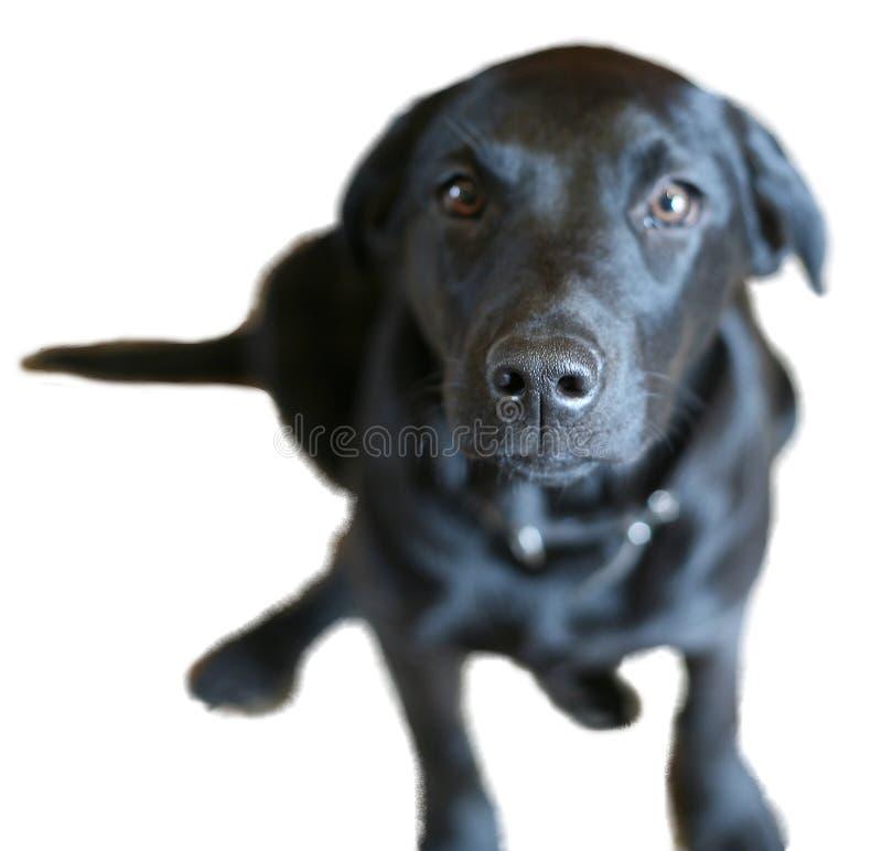Download Nosey Dog stock photo. Image of spying, poke, labrador - 4878028