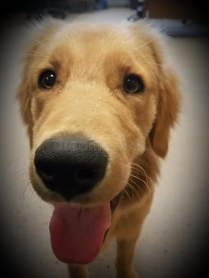 Nosey Golden Retriever stock image