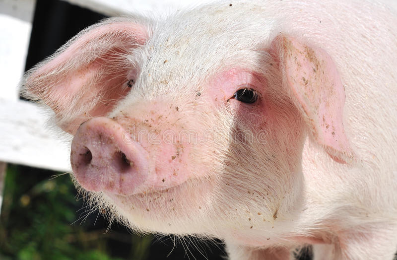 Nosey Pig stock images